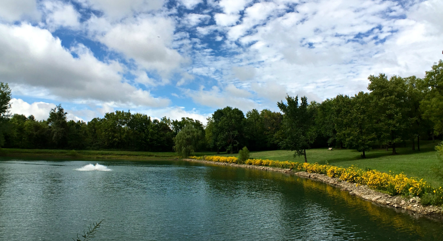 Large pond surrounded by yellow flowering shrubs, grassy lawn, trees and blue skies with puffy clouds