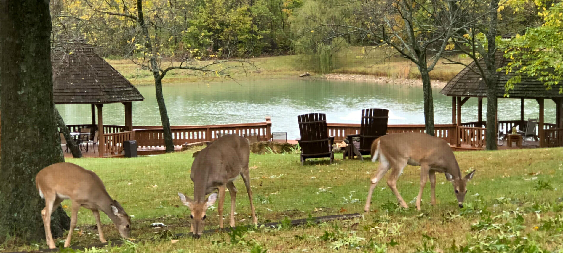 Three light brown doe grazing on the lawn with two gazebos and the pond in the background